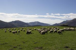sheep-1455124_640